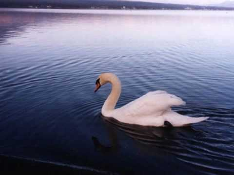 ??????????Le Cygne/ The Swan by Saint-Sa�ns