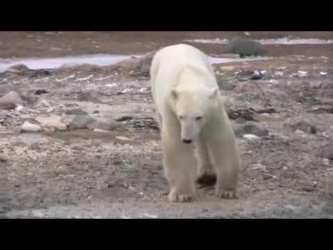 Ted & Francis - I Wish I Was A Polar Bear (Arctic Urgency edit)